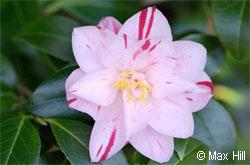 Journées du Camellia : Samedi 14 et Dimanche 15 mars 2009