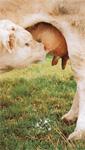 Veau charolais allaitant sa mère